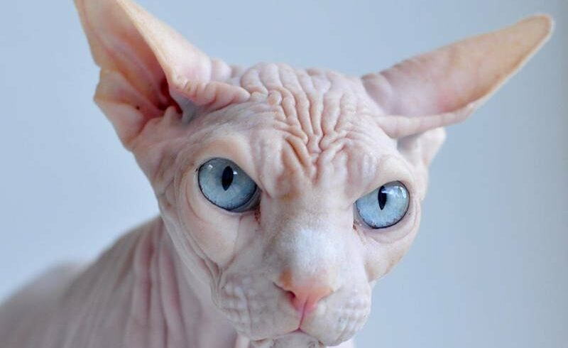 Crazy Cat Breeds In Our World