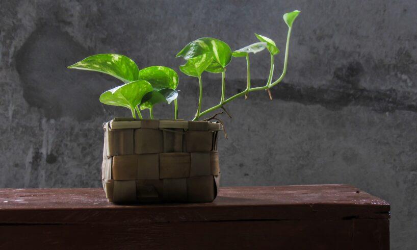 Benefits Of Keeping Money Plant