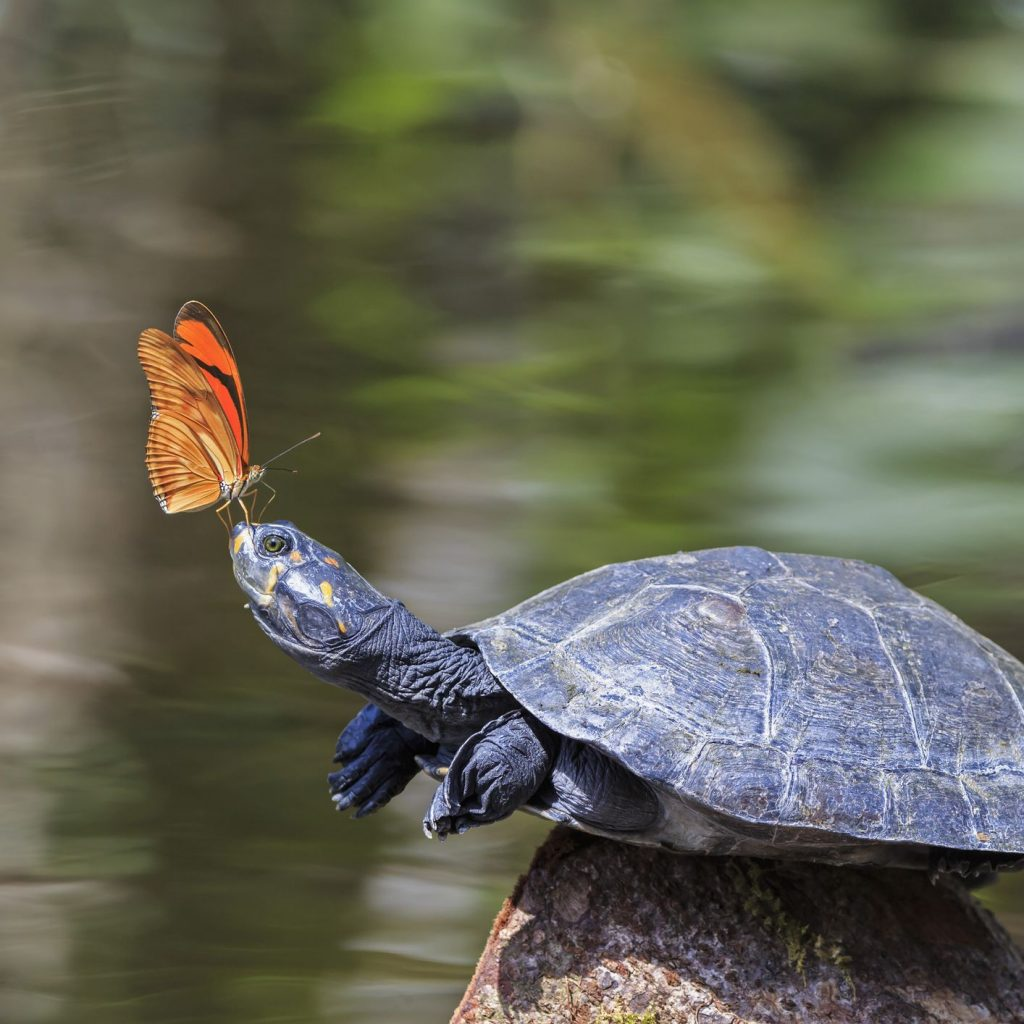 Why Butterflies Drink Turtle Tears