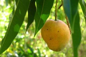 Mango Leaves Health Benefits
