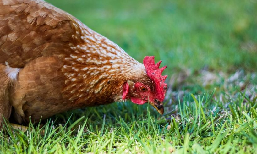Interesting Facts About Chickens